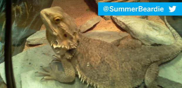 """I'vestarted the prep work on the """"DragonCam"""" project – a monitoring system for Andrew's Bearded Dragon, Summer. This weekend, Idid the basic setup on a new Raspberry Pi B+ (love […]"""